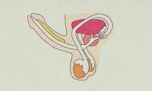 Dickeren Penis Bekommen